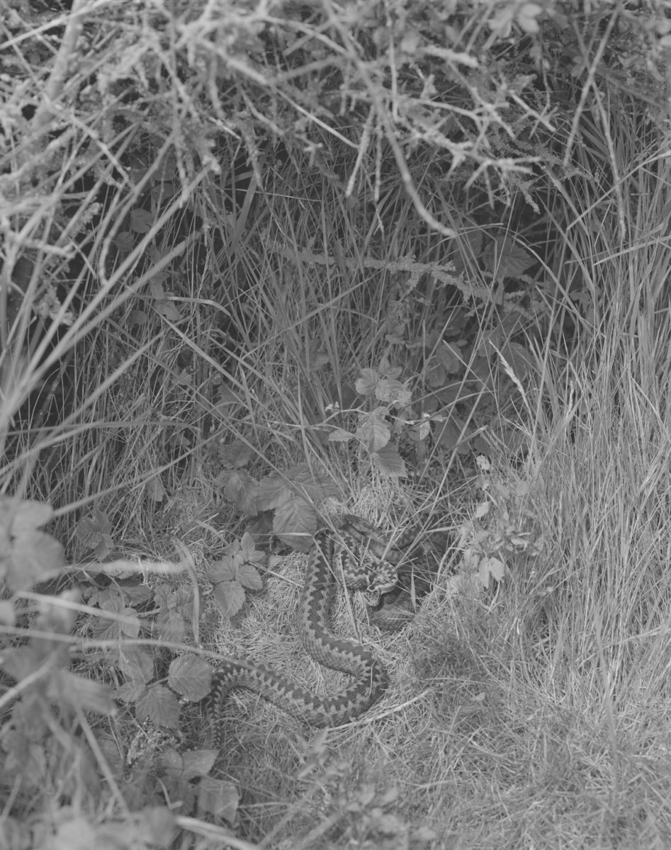Sam Laughlin, Adders Basking (Vipera berus), from the series A Certain Movement