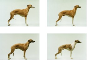 Jo Longhurst Twelve Dogs, Twelve 2001-2002, photography c-type print multiples breed Kennel Club Whippet