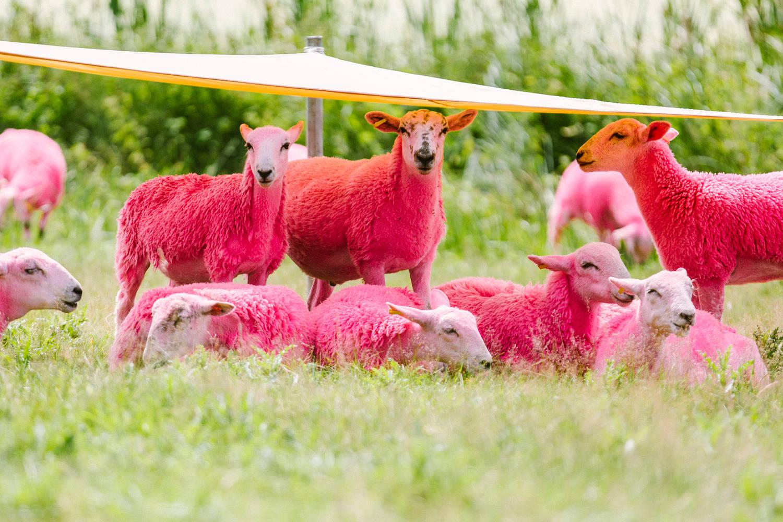 Pink sheep latitude festival elephant magazine