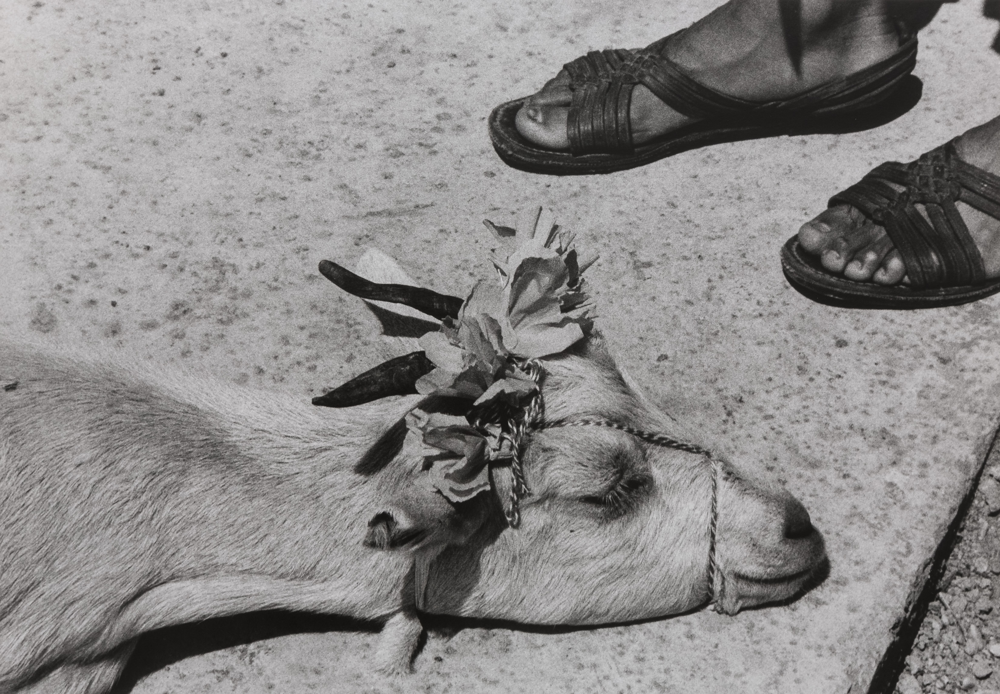 Graciela Iturbide, The Little Goat's Dance, Before the Slaughter, La Mixteca, Oaxaca, Mexico, 1992 © Graciela Iturbide. Courtesy of the Museum of Fine Arts, Boston