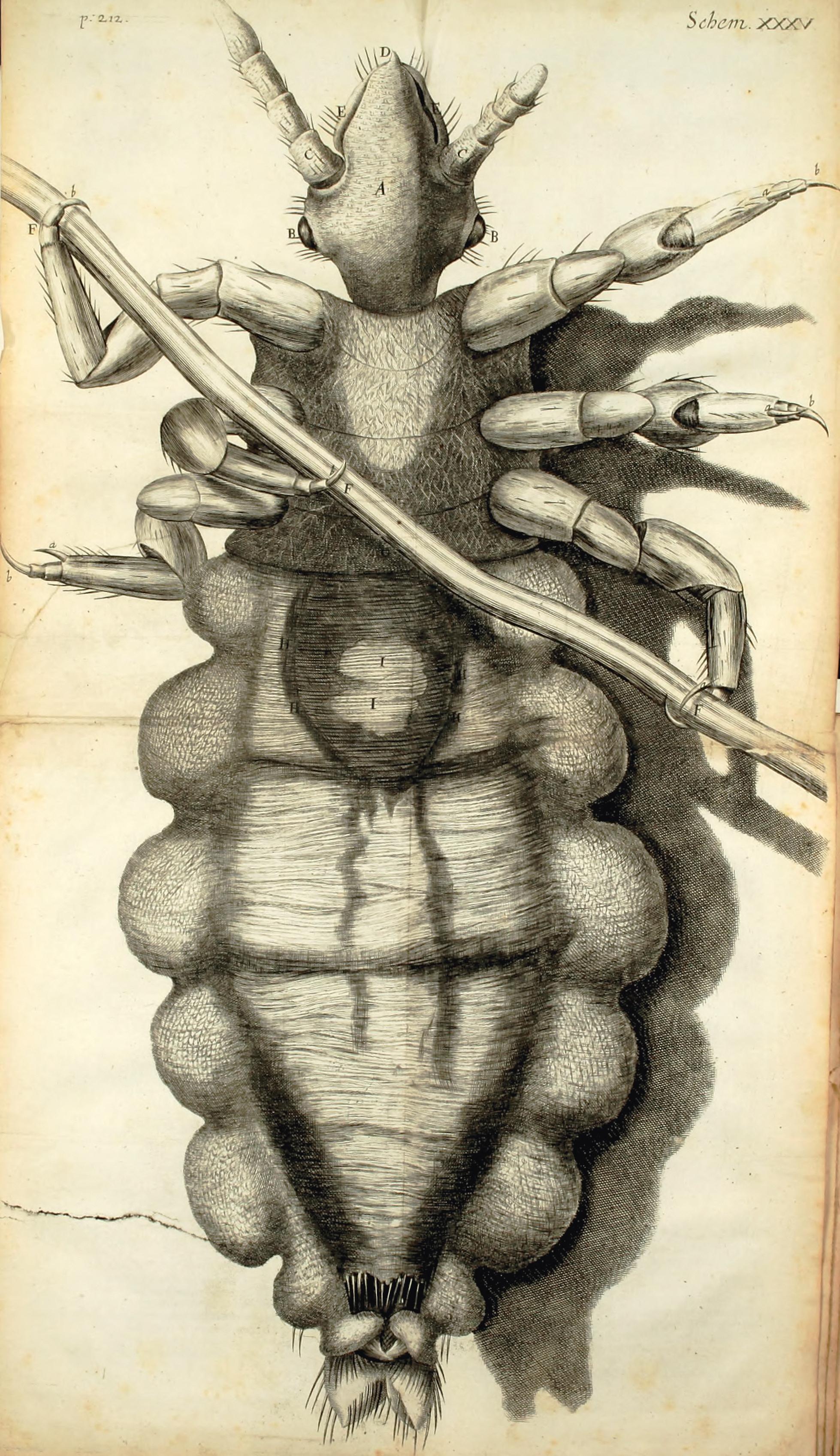 Robert Hooke, The Louse, from Micrographia,1665, Duke University Libraries, Durham, NC