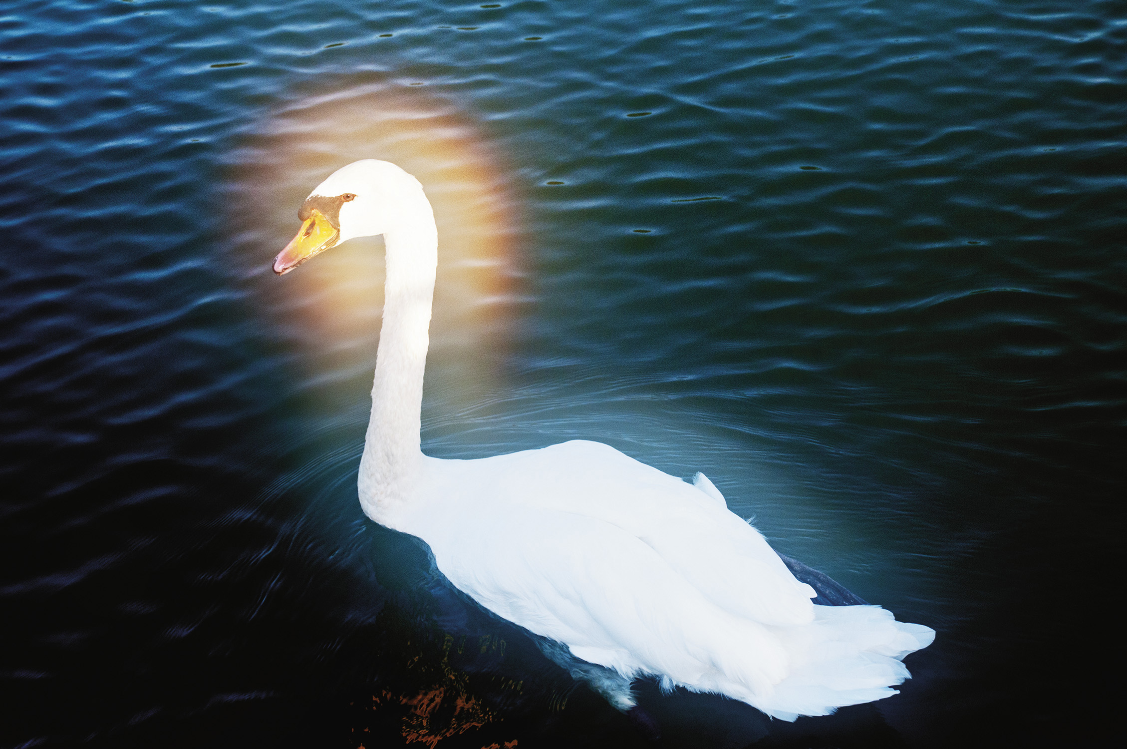 Swan on Lake Cassadaga, Lily Dale, New York, 2010. From Séance by Shannon Taggart