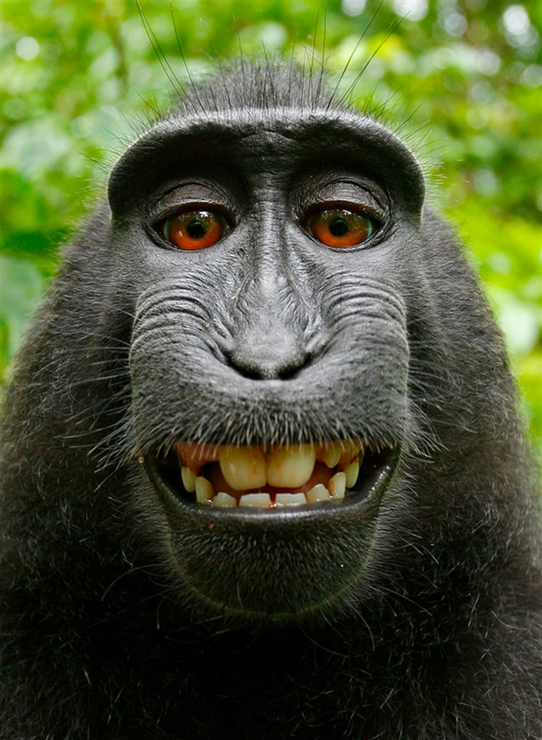 Paul Slater, Image of an Indonesian Celebes Crested Macque, 2011. Via Wikimedia Commons