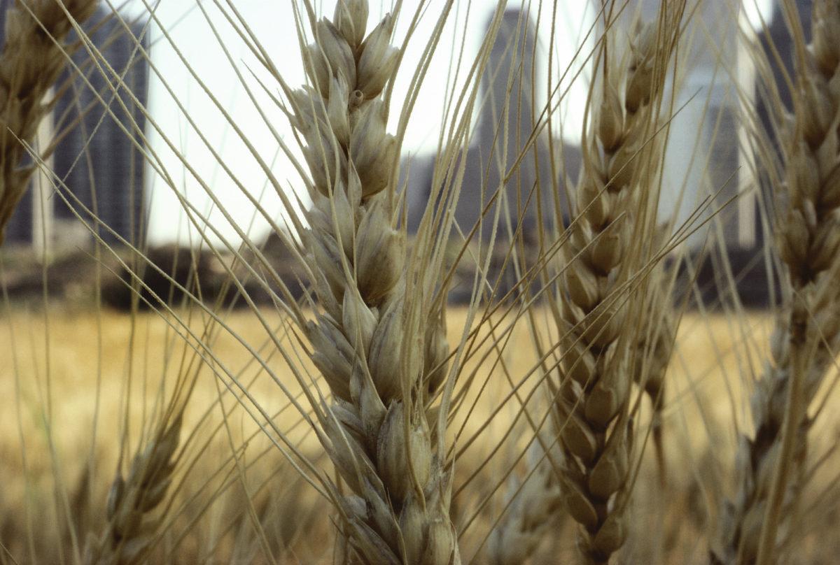 AD_01A-Gold Wheat (Close up)_HR